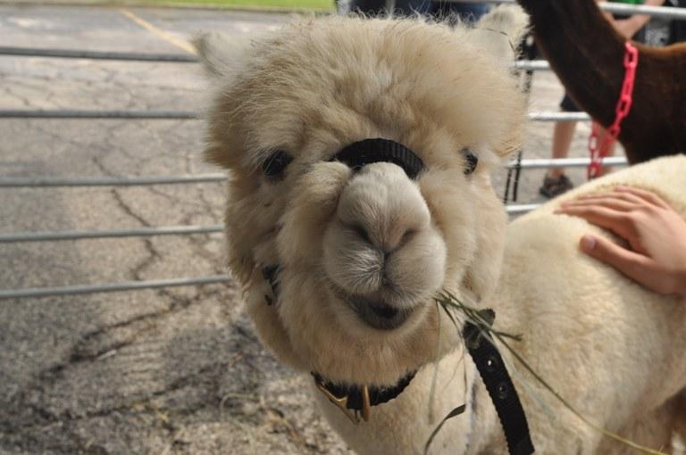 alpaca7.jpg